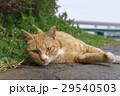 猫 野良猫 動物の写真 29540503
