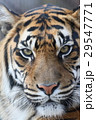 スマトラトラ 虎 哺乳類の写真 29547771