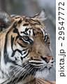 スマトラトラ 虎 哺乳類の写真 29547772