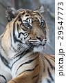 スマトラトラ 虎 哺乳類の写真 29547773