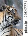 スマトラトラ 29547774
