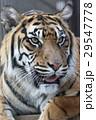スマトラトラ 虎 哺乳類の写真 29547778