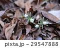 花 節分草 白色の写真 29547888