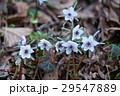 花 節分草 セツブンソウの写真 29547889