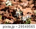 花 節分草 セツブンソウの写真 29549565