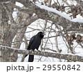 鳥 鳥類 野鳥の写真 29550842