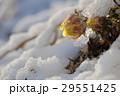 福寿草 花 春の写真 29551425