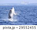 沖縄のホエールウォッチング ザトウクジラ 29552455