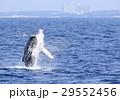 沖縄のホエールウォッチング ザトウクジラ 29552456