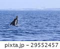 沖縄のホエールウォッチング ザトウクジラ 29552457