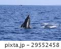 沖縄のホエールウォッチング ザトウクジラ 29552458