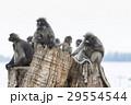 flock of wild dusky leaves monkey on tree stump 29554544