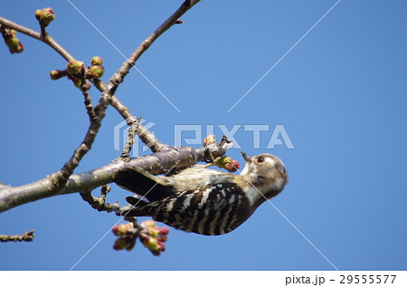 桜のつぼみとコゲラ 29555577
