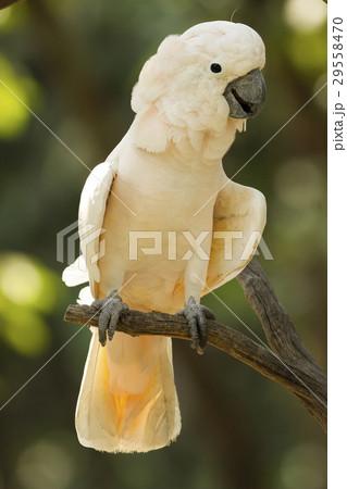 Cockatooの写真素材 [29558470] - PIXTA
