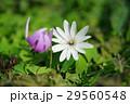 片栗&東一華 29560548
