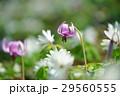 片栗&東一華 29560555
