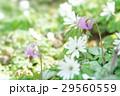 片栗&東一華 29560559