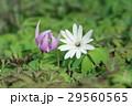 片栗&東一華 29560565