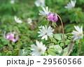 片栗&東一華 29560566