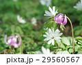 片栗&東一華 29560567