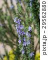 春の庭に沢山の花を付けた立性のローズマリー 29562880