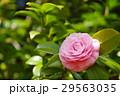 椿 千重咲き 29563035