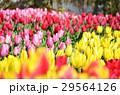 チューリップ チューリップ畑 花の写真 29564126