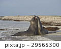 動物 浜辺 争うの写真 29565300