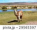 白と茶 アルパカ 29565397