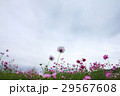 view of moving cloud over the cosmos flowers in a  29567608