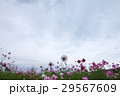 view of moving cloud over the cosmos flowers in a  29567609