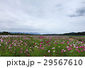 view of moving cloud over the cosmos flowers in a  29567610