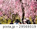 梅の花 29569319