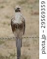 鳥 猛禽類 タカ科の写真 29569359