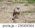 鳥 猛禽類 タカ科の写真 29569364