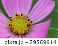 浜離宮恩賜庭園のピンク色のコスモスの花 29569914