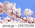 桜 29570298