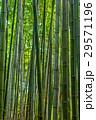 竹林 29571196