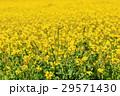 アブラナ 花 花畑の写真 29571430