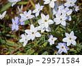 ハナニラ 花韮 花の写真 29571584