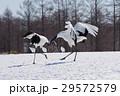 求愛ダンス タンチョウ 北海道丹頂 29572579
