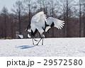 タンチョウ 求愛ダンス 北海道丹頂 29572580