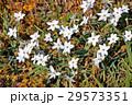 ハナニラ 花韮 花の写真 29573351