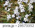 ハナニラ 花韮 花の写真 29573352