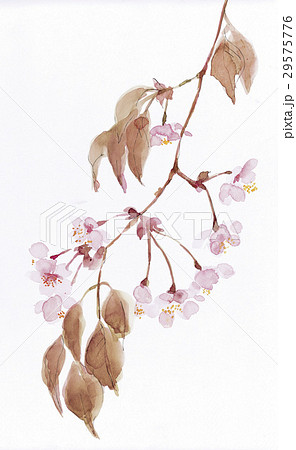 水彩 桜のイラスト素材 [29575776] - PIXTA