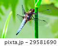 Dragonfly 29581690