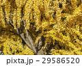 黄葉した葉で埋め尽くされたイチョウの木 29586520