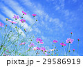 コスモス 秋桜 花の写真 29586919