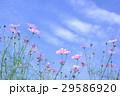 コスモス 秋桜 花の写真 29586920