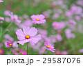 コスモス 花 秋桜の写真 29587076